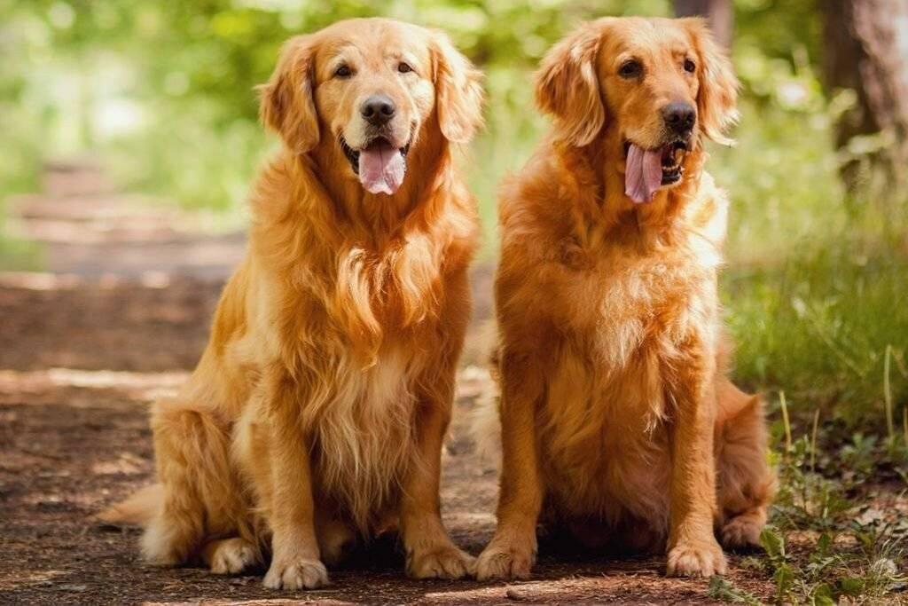 Топ-35 самых добрых пород собак в мире ? с описаниями, фото, видео и ценами | petguru