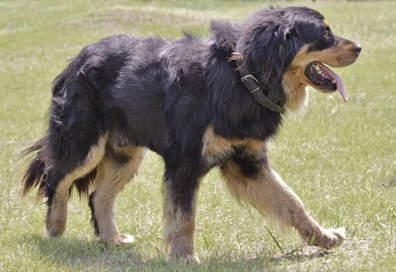 Бурят-монгольский волкодав (хотошо) – энциклопедия о собаках