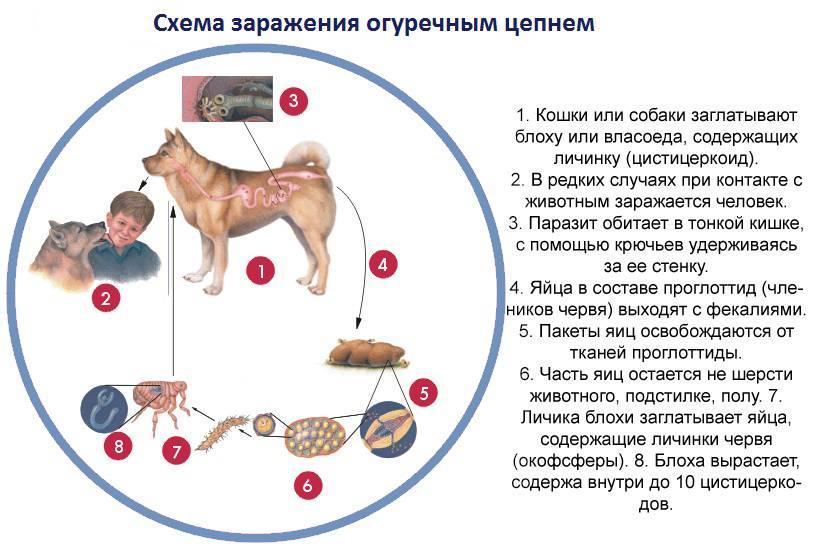 Можно ли заразиться глистами от собаки человеку