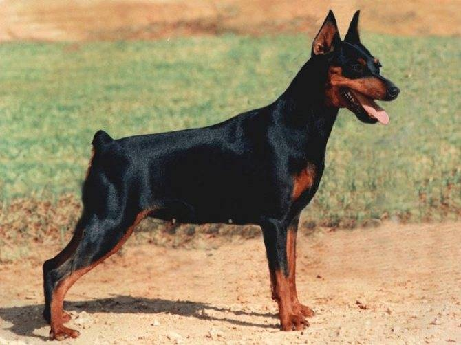 Доберман: все о собаке, фото, описание породы, характер, цена