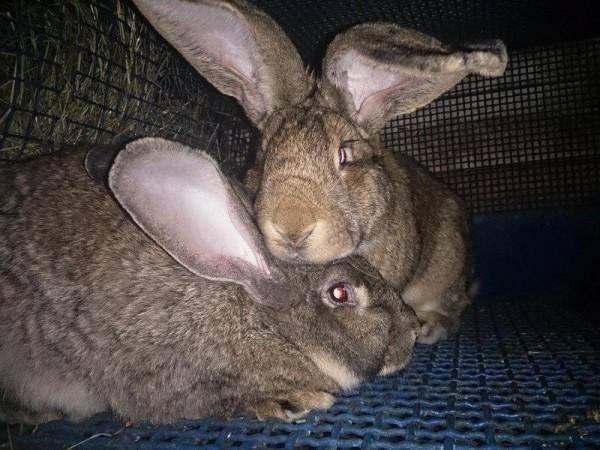 Почему крольчиха не подпускает крола: что делать