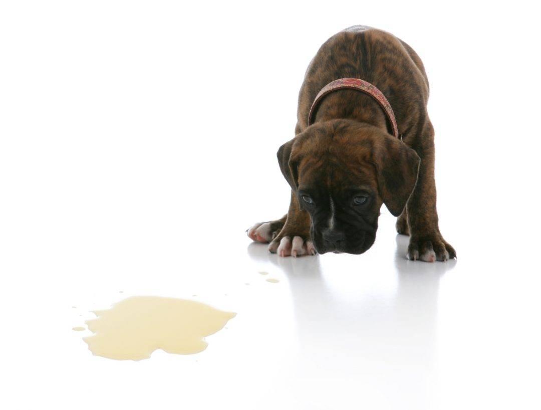 Почему собака копает в кровати: причины и как побороть естественные потребности животного