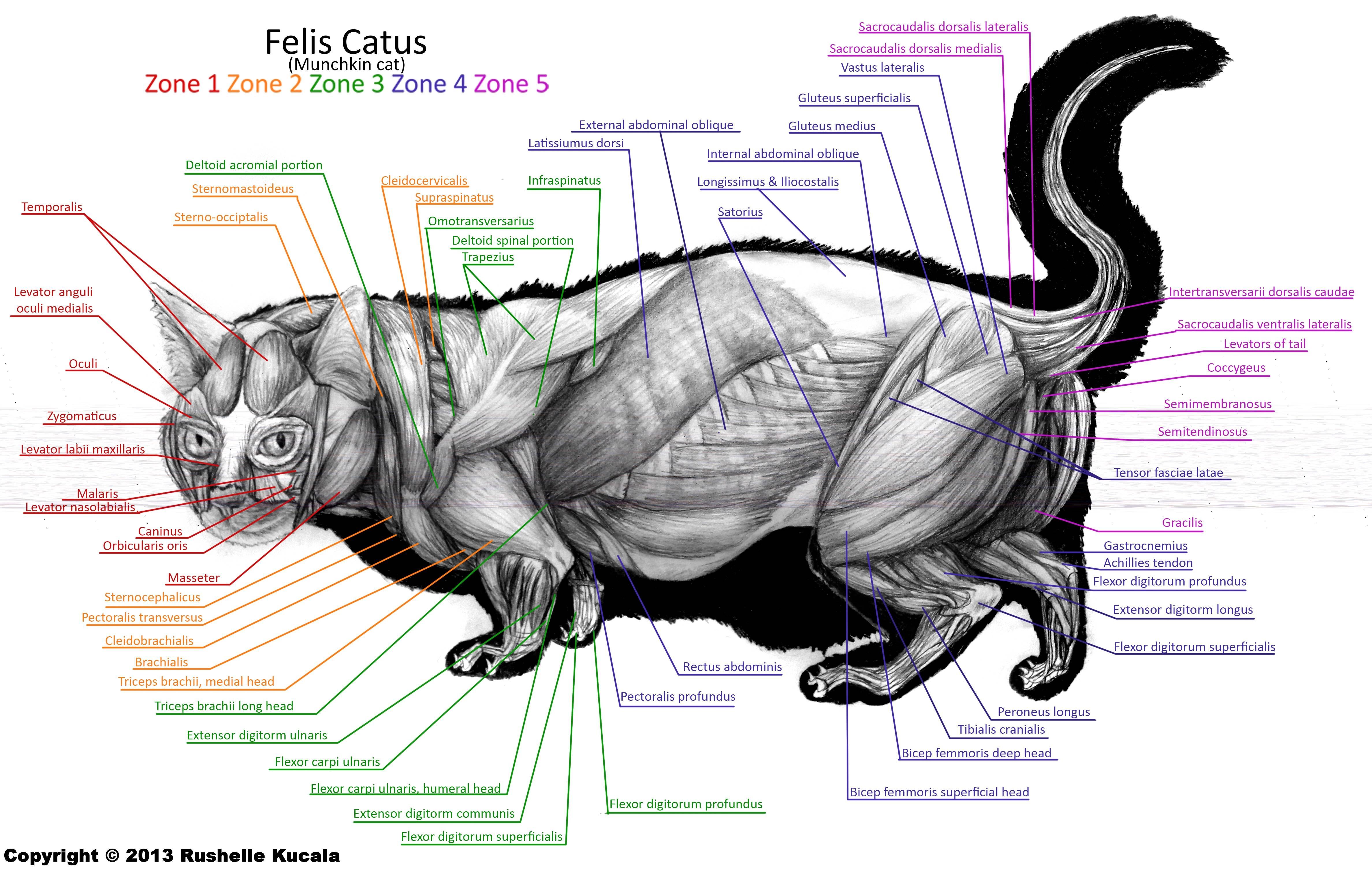 Анатомия внутренних органов кошки
