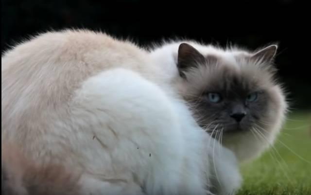 Порода священная бирма: как ухаживать за кошками, цена на бирманских котят, особенности поведения