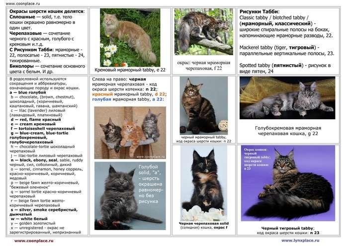 6 существующих окрасов и расцветок кошек и котов
