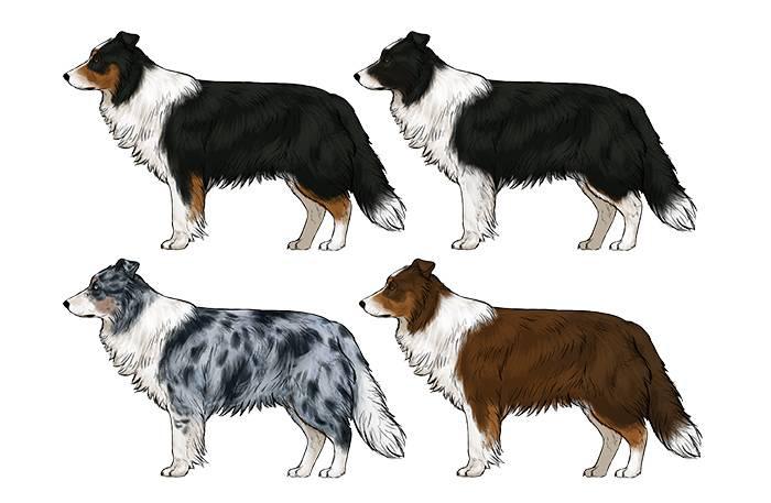 Порода собак бордер-колли
