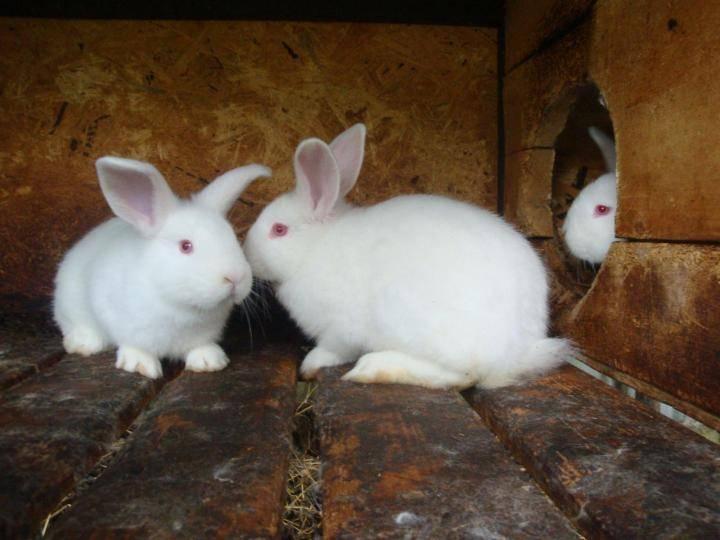 Новозеландский кролик: описание и характеристика породы