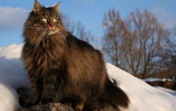 Умные и верные кошки: знакомимся с норвежской лесной