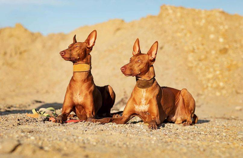 Фараонова собака: описание, фото, цена, характер и особенности ухода за породой