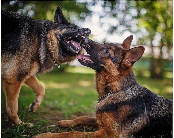 Сколько длится течка у собак мелких пород и как часто бывает