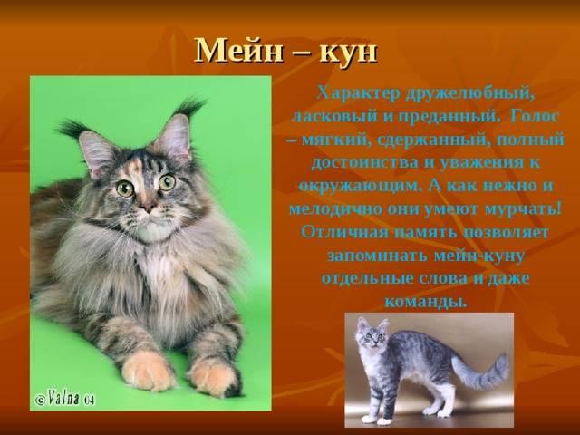 Мейн-кун описание породы и характер. советы эксперта как ухаживать