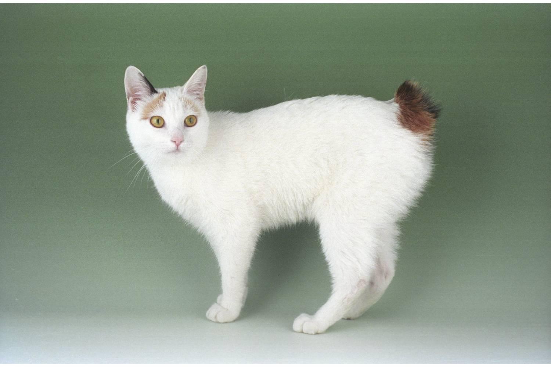 Описание породы котов бобтейл: разновидности, характеристика и фото