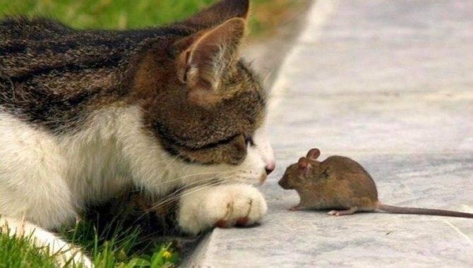 Кошка-крысолов – помощник в борьбе с мышами, крысами и другими вредителями