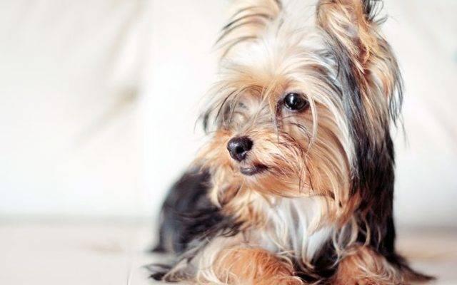 Гипоаллергенные собаки — какую породу выбрать аллергику?