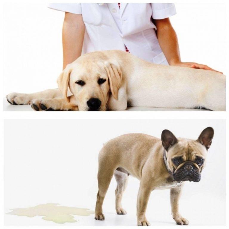 Собака стала мало писать: почему не идет моча, сутки плохо и редко мочится, проблемы с мочеиспусканием, что делать