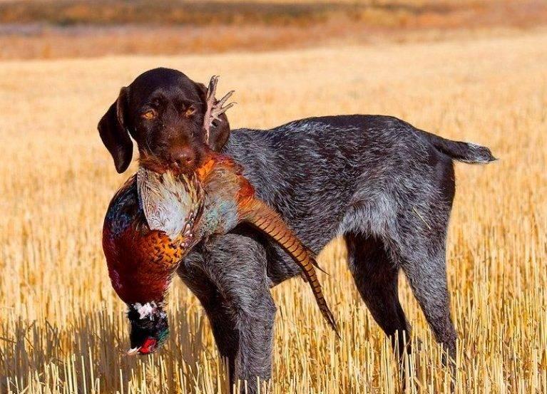 Охотничьи собаки: описание, популярные породы данной группы