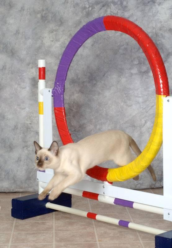Как дрессировать кота, ? практические советы и рекомендации
