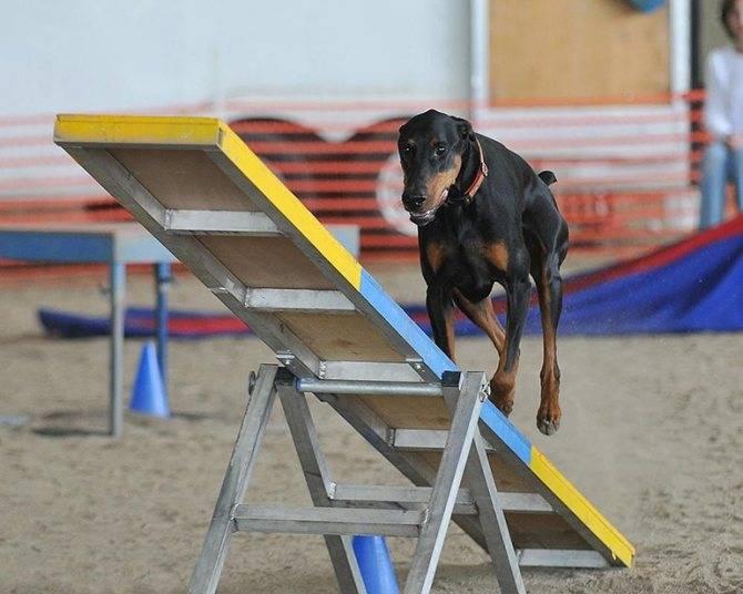 Что такое аджилити и как проводятся соревнования с полосой препятствий для собак