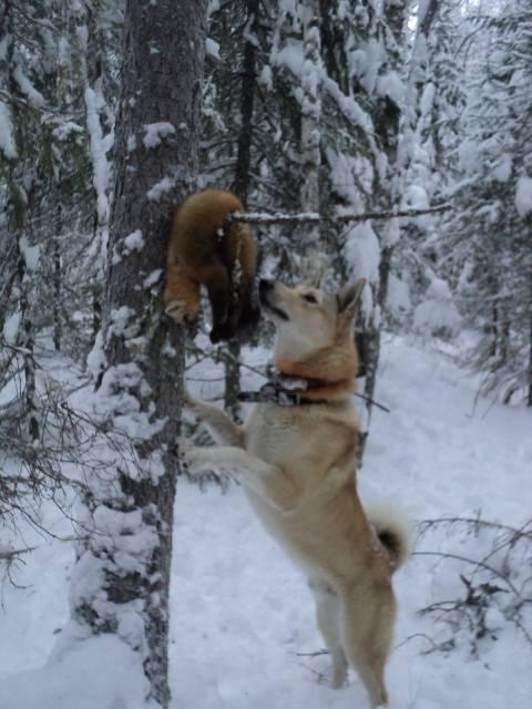 Лайка – описание охотничьей породы: внешний вид собаки, характер, правильное содержание и уход