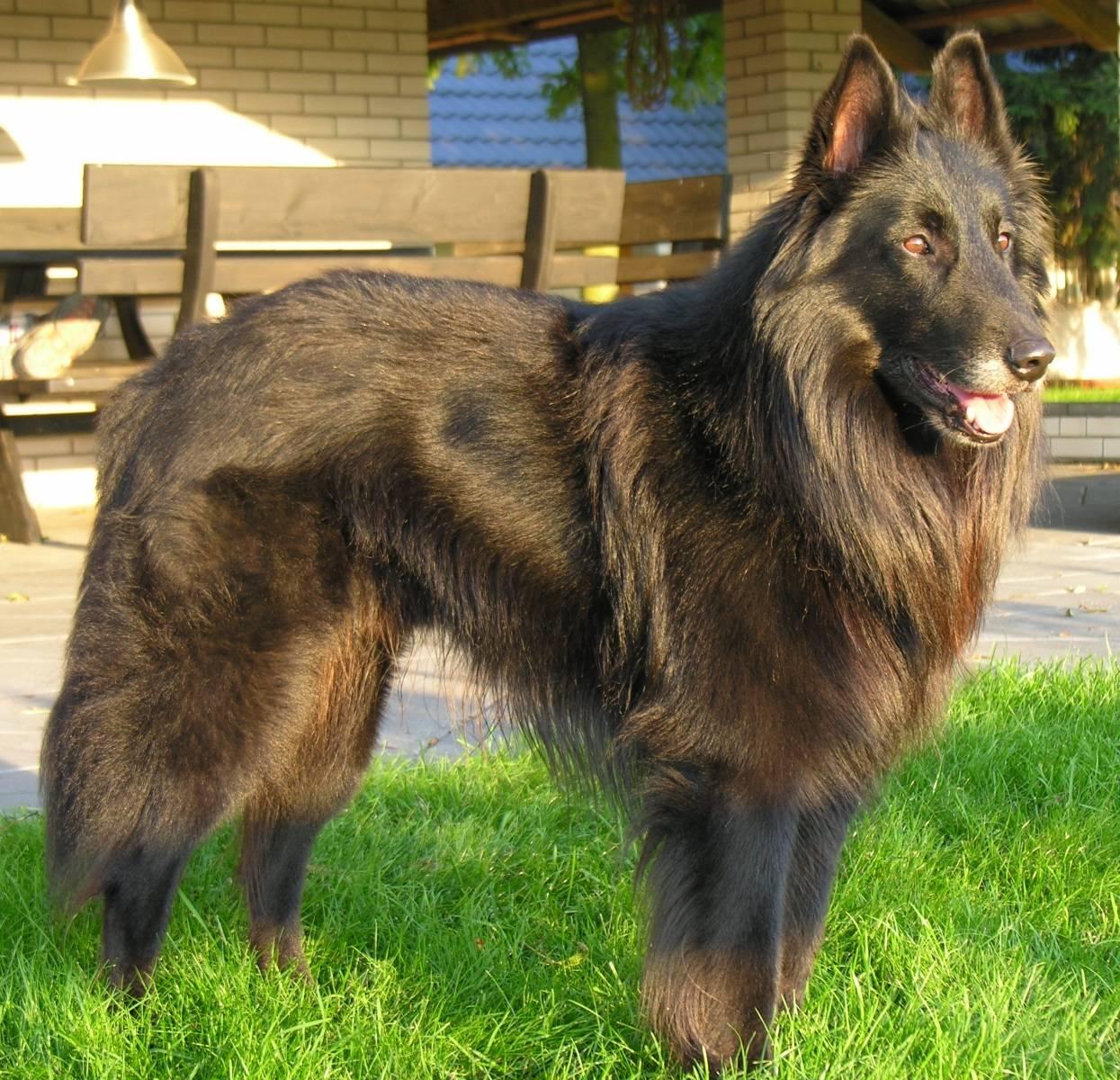 Порода собак кавказская овчарка, описание и характер, а также сколько стоит породистый щенок