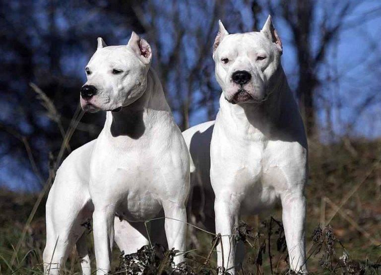 Порода белых пушистых собак: плюсы и минусы, описание и характеристики