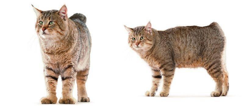 Подробное описание и характеристика породы кошек пиксибоб