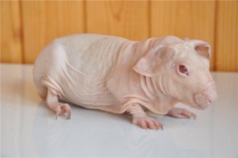 [новое исследование] перуанская морская свинка: особенности вида, описание, поведение, уход и рацион