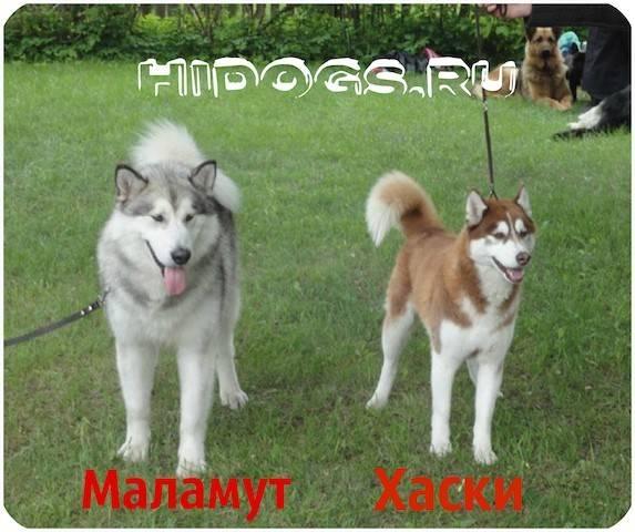 Сибирский хаски: описание породы, характер, уход, фото и отзывы владельцев