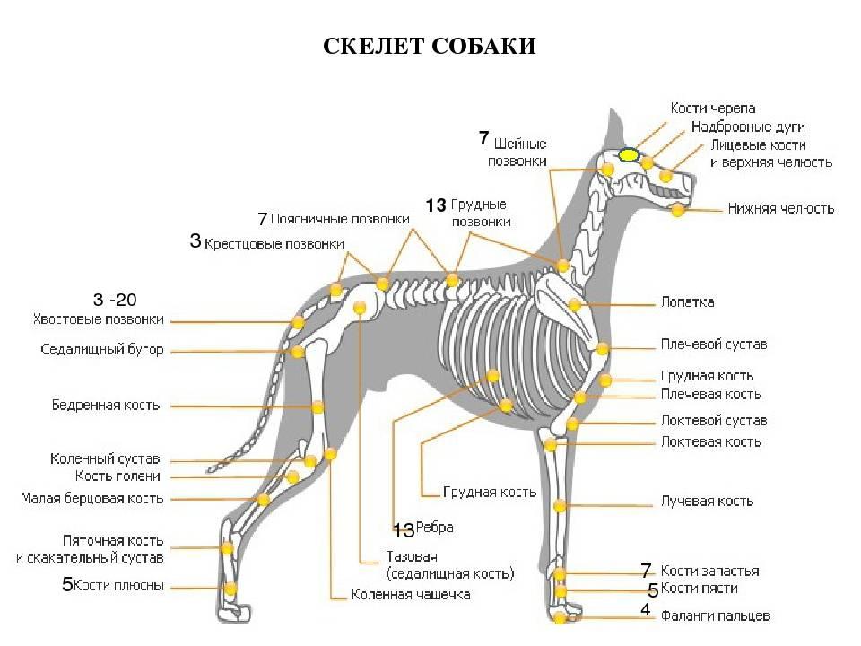 Строение скелета собаки: отделы скелеты, позвоночник, соединение скелета