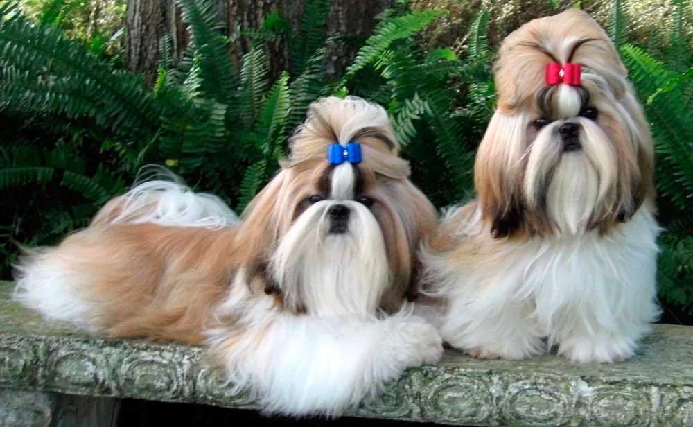 Ши-тцу - характер собаки, тип шерсти и окрас, выращивание щенков, уход, кормление и лечение болезней