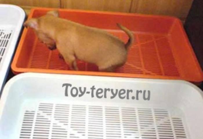 Как приучить щенка к туалету в квартире: быстро и просто