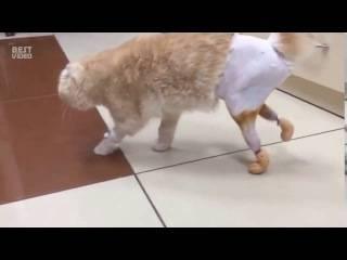 7 причин почему кот плохо ходит задними лапами - что делать