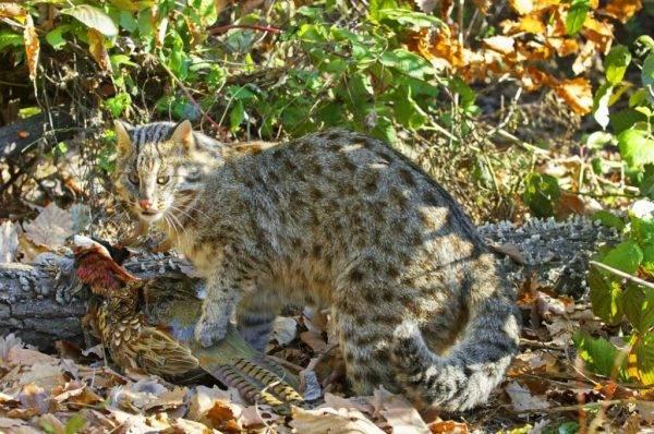 Амурский лесной кот: сообщение об усатой «золушке. амурский лесной кот: описание вида