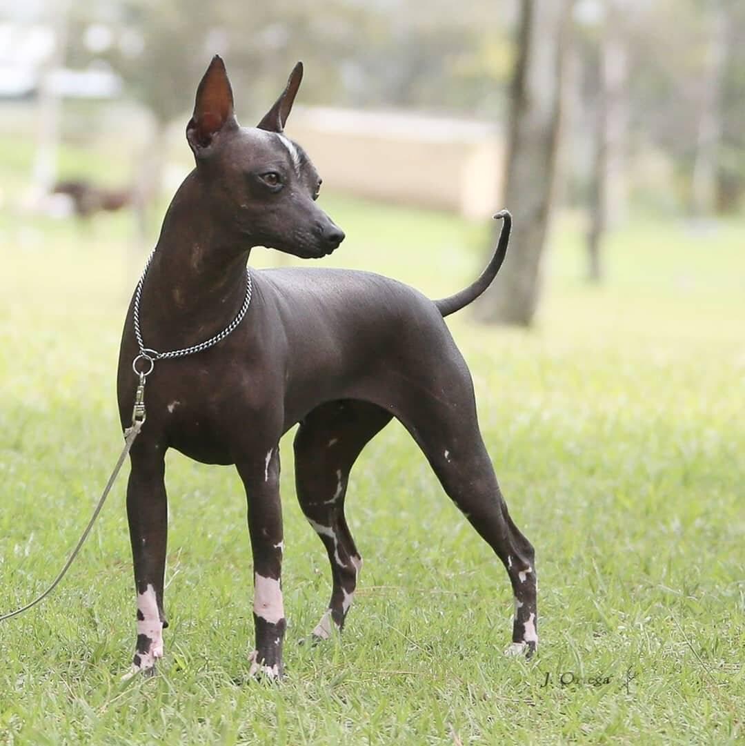Мексиканський голий собака, ксолоитцкуинтли