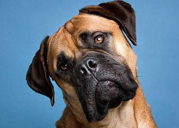 Собака наклоняет голову - симптомы болезни, причины и лечение