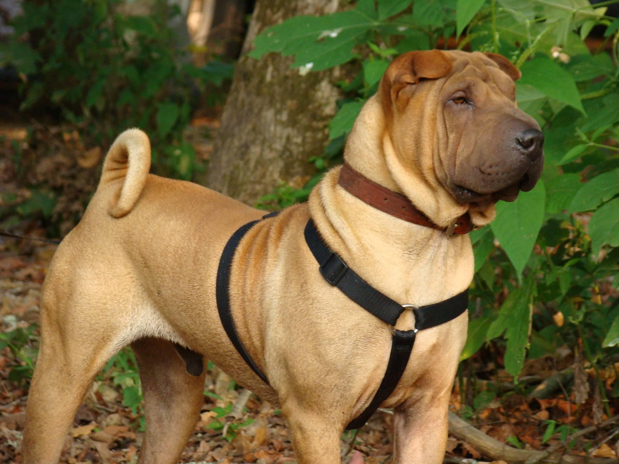 Собака породы шарпей: описание, характеристика