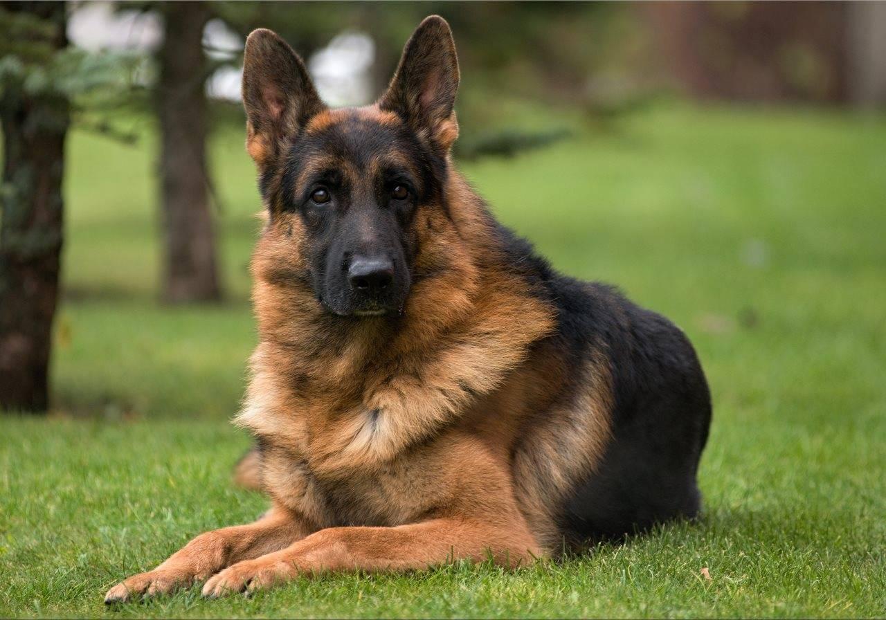 Немецкая овчарка: всё, что нужно знать об этой породе собак от а до я