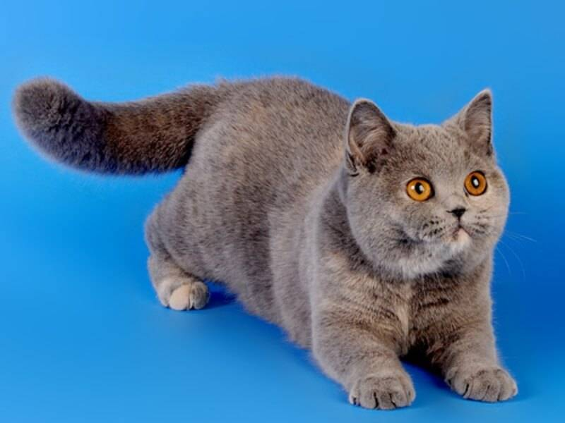 Кошки британской породы: характеристика, окрас, описание стандарта