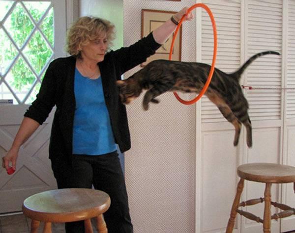 Дрессировка кошек в домашних условиях дрессировка кошек в домашних условиях