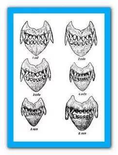 Когда у котят меняются зубы - схема формирования прикуса, возможные осложнения