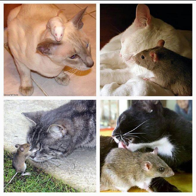 ᐉ какие породы кошек хорошие мышеловы? - zoomanji.ru