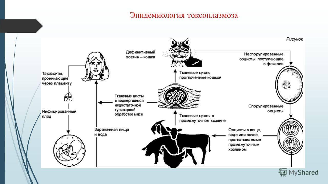 Как передается токсоплазмоз от кошки к беременной
