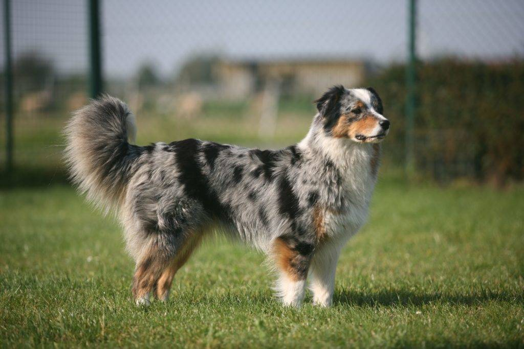 Австралийская овчарка (аусси) – качества породы: внешний вид и характер собаки, условиях содержания, уход и дрессировка