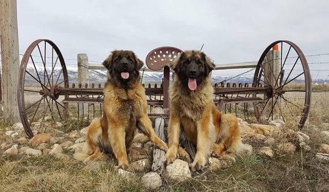 Леонбергер — описание породы собак