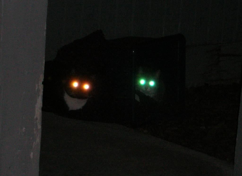Почему у кошек светятся глаза в темноте - мамин советник