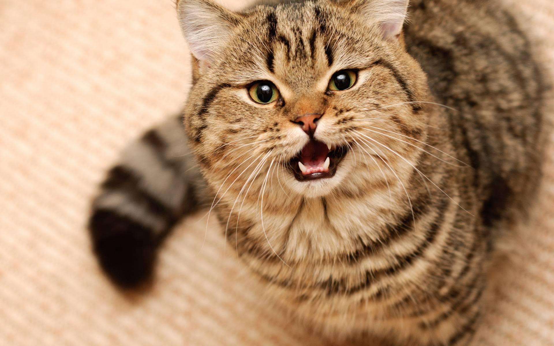 Почему котенок без причины постоянно кричит, что делать, из-за чего малыш мяукает беззвучно?