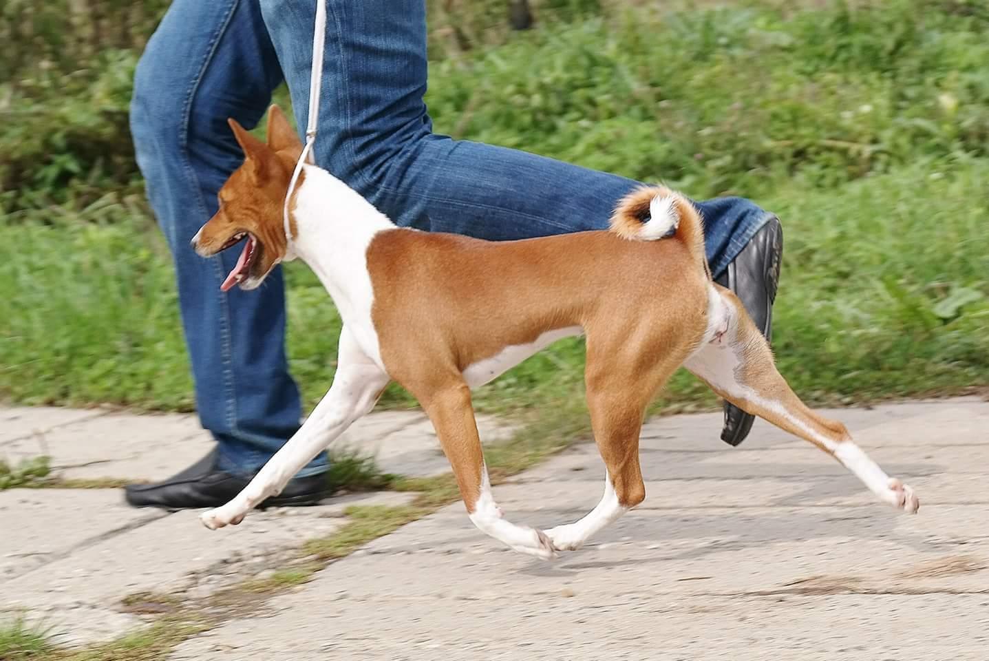 Порода басенджи: собака, которая не лает