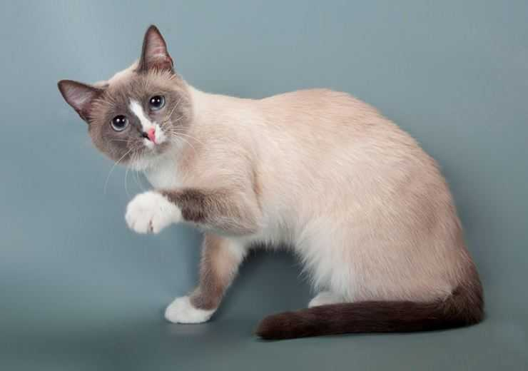 Кошки и котята породы сноу шу, особенности характера, питание и уход