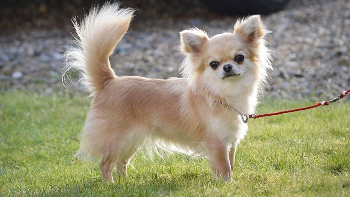 Груминг чихуахуа: нужна ли собакам этой породы стрижка и какие существуют прически + как подстричь питомца дома?