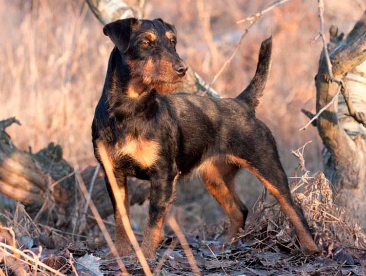 Ягдтерьер: характеристики немецкой породы собаки (103)